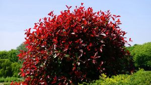 Seasonal Landscape knows the best bushes for your midwest homes.